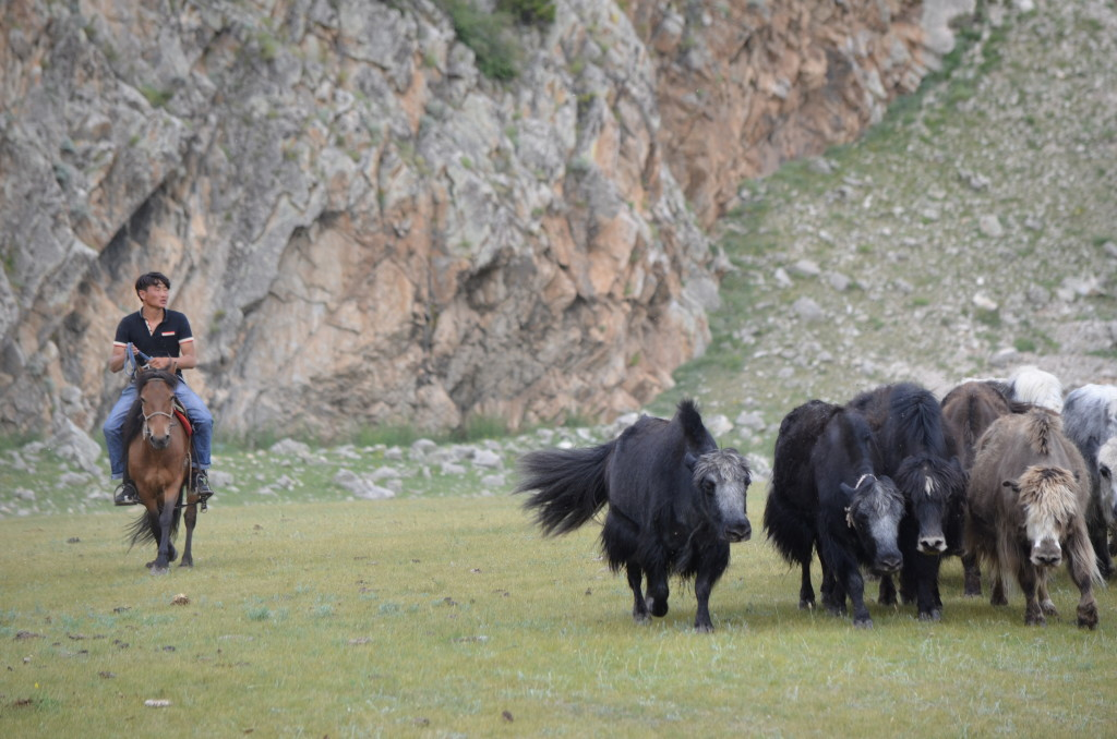 A nomadic herder tends to his herd of yaks near Bulgan Soum in northern Mongolia.